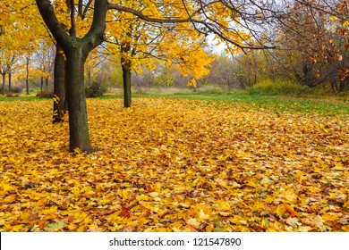 yellow maple trees and fallen leaves in autumn