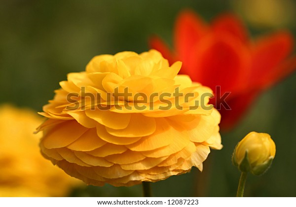 Yellow Marigold and Bud with Red Tulip in Background