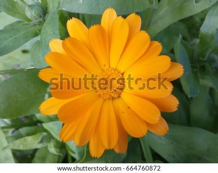 Yellow Marigold Flower Medicinal Plant Stock Photo Edit Now