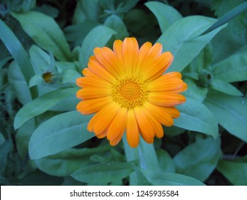 Yellow marigold flower on the blurred green background of the garden of nature. Yellow calendula flower in the garden, top view