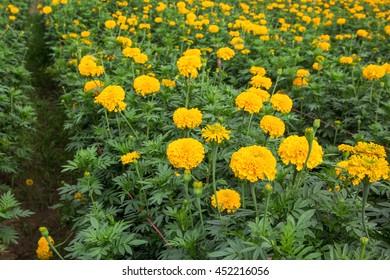 Yellow marigold flowers in the garden.