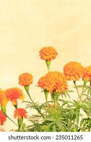 Yellow Marigold Flowers on yellow background
