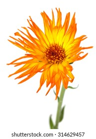 yellow marigold flowers on a white background