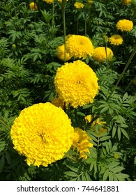 Yellow Marigold flowers in a row from bottom left to upper right of the picture.