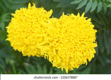 Yellow marigold Green background of the leaf