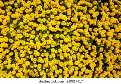 Yellow Marigolds for Wallpaper and Background