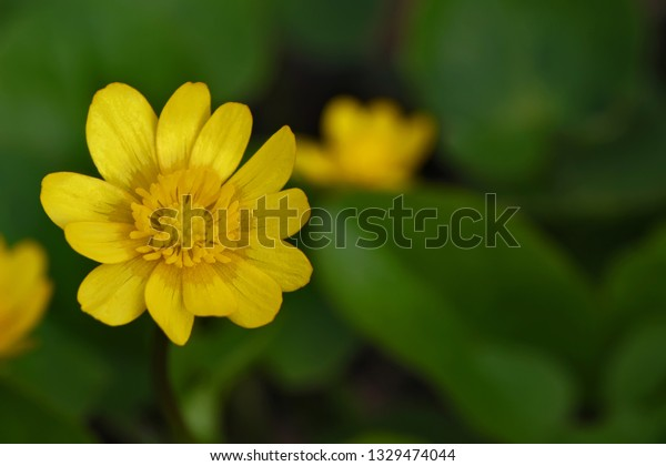 Yellow marsh flower, close up. A spring scene with a bright plant.