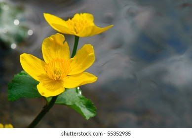 Yellow marsh-marigold in the front, forest river in the background.