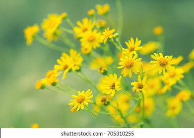 Yellow meadow flowers on a green background. Autumn flowers, selective soft focus.