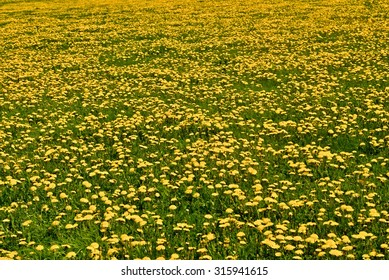 Yellow meadow, picture full of dandelions