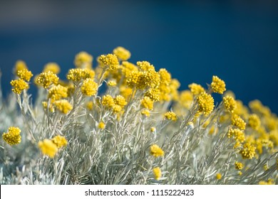 Yellow Mediterranean flowers on the background of the sea with a shallow depth of field. Helichrysum italicum