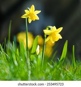 Yellow miniature daffodils in green grass