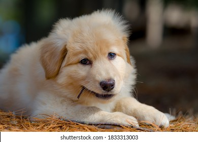 Yellow mixed-breed puppy  chews on a stick