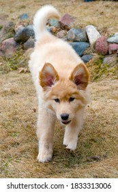 Yellow mixed-breed puppy  running with ears up