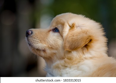 Yellow mixed-breed puppy side profile