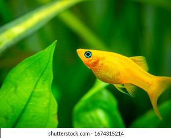 yellow molly fish (Poecilia sphenops) swimming on a fish tank