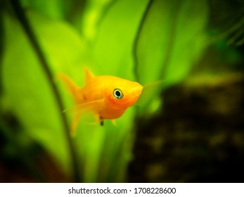 yellow molly fish (Poecilia sphenops) close up on a fish tank with blurred background