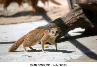 Yellow mongoose animal