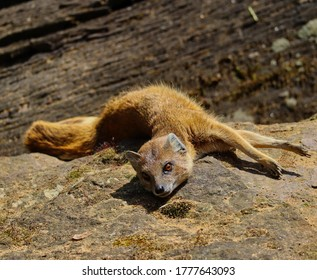 Yellow Mongoose (Cynictis Penicillata) also known as Red Meerkat Lying Down on Stone in Zoological Garden in Prague. African Animal in Czech Zoo.