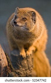 Yellow Mongoose (Cynictis penicillata) on a log.