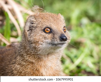 The yellow mongoose (Cynictis penicillata), sometimes referred to as the red meerkat, is a member of the mongoose family