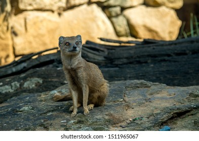 The yellow mongoose (Cynictis penicillata), sometimes referred to as the red meerkat, is a member of the mongoose family.