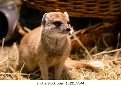The yellow mongoose (Cynictis penicillata), sometimes referred to as the red meerkat.