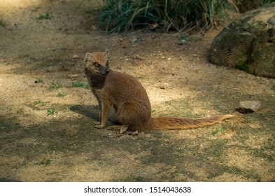 The yellow mongoose (Cynictis penicillata), sometimes referred to as the red meerkat, is a member of the mongoose family. It lives in Angola, Botswana, South Africa, Namibia, and Zimbabwe.