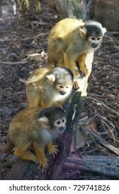 yellow monkey