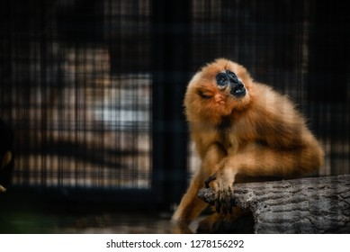 A yellow monkey in a black cage in a zoo. Monkey looks sad and lonely in a cage alone, he looking out of the cage.