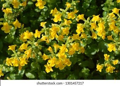 Yellow monkey flower - Latin name - Mimulus luteus
