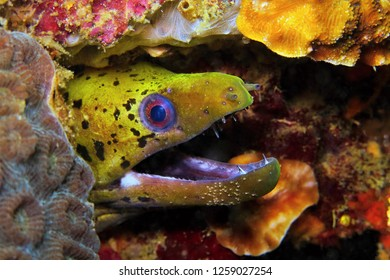 Yellow moray eel on the tropical coral reef. Ocean animal portrait. Underwater photography from scuba diving with marine wildlife. Eel (Muraenidae) potrait and reef.