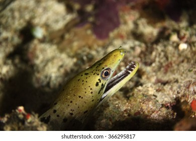 Yellow Moray in the reef