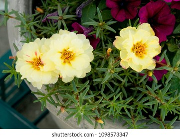 Yellow Moss Roses, and Purple petunia, Garden Flowers
