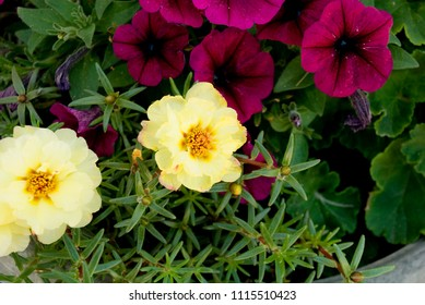 Yellow Moss Roses and Purple Petunias