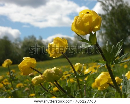 Yellow Mountain Flowers Urals Stock Photo Edit Now 785229763
