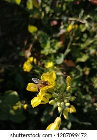 yellow Mustard (brasica) flowews  and bee  background and walpaper