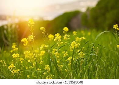 Yellow mustard field. Stock photo. Winter cress field flowers on a sunny day.