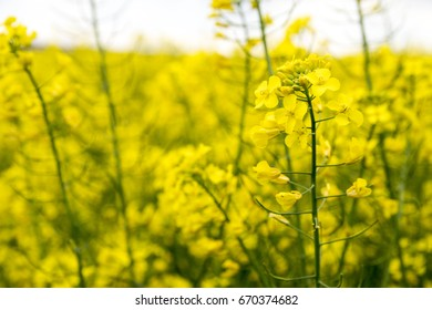 Yellow mustard flowers, cloudy weather, on the large mustard fields