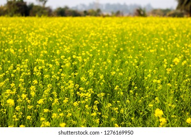 Yellow mustard flowers in a mustard farm green. Sarson saag farm in day time.