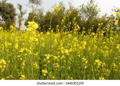 Yellow mustard flowers in a  farm green. Sarson saag