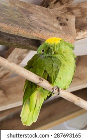 Yellow Naped Amazon Parrot (Amazona auropalliata) sleeps on perch.  Distinguished from other parrots by the yellow feathers on the back of their heads.  Excellent mimics of  animals and humans.