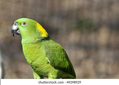 Yellow naped parrot: Amazona auropalliata is often considered to be a subspecies of Yellow-crowned Amazon, Amazona ochrocephala. It is found along the Pacific coast of South and central Americas