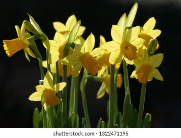 Yellow narcissi mini daffodils spring flowers isolated on dark background with sunlight through the petals