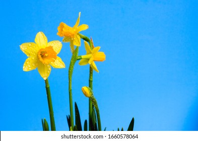 Yellow narcissus or daffodil flowers on blue background. Selective focus. Place for text. Spring concept.