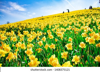 Yellow Narcissus - daffodil on a green background. Spring flower narcissus ( daffodil )