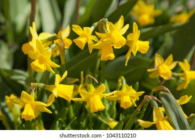 Yellow narcissus flowers in spring glade. Amsterdam Holland. Urban flora.