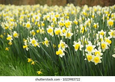 Yellow narcissus garden