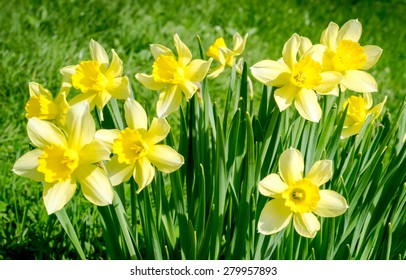 Yellow narcissus in the garden. Beautiful summer landscape.