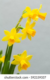 Yellow narcissus with green leaves on white background